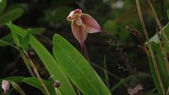 """Dracula iricolor (one of the """"monkey face"""" orchids) video shot in situ during an orchid observation tour I guided, Antioquia department, Colombia (David Haelterman) Tags: orchid orchidée orchideen orchidee orquídea dracula iricolor draculairicolor pleurothallidinae colombia antioquia insitu américa southamerica sudamérica américadelsur amérique america amériquedusud zuidamerika kolumbien monkeyface monkeyfaceorchid orquídeacarademico orchidéefacedesinge facedesinge carademico"""