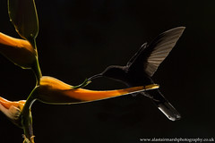 Violet Sabrewing (Alastair Marsh Photography) Tags: violetsabrewing violet sabrewing hummingbird hummingbirds bird birds backlit flight fly flying heliconia plants plant flowers flower caribbean costarica centralamerica latinamerica rainforest cloudforest rain rainfall forest feathers feather animal animals animalsintheirlandscape wildlife