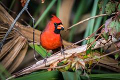 Male Cardinal (DonMiller_ToGo) Tags: cardinal venicerookery nature birds outdoors birdwatching red d810 rookery florida