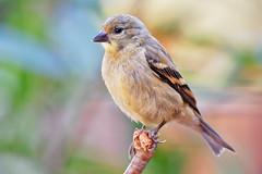 Lesser Goldfinch (Life of David) Tags: california camarillo canon5dmarkiv lessergoldfinch spinuspsaltria usa wildlife backyard beautiful beauty bird nature