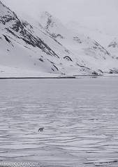 Polar Bear (Ursus maritimus) (Mark Carmody) Tags: imagesbymarkcarmody lindbladexpeditions markcarmodyphotography markcarmody nationalgeographicexplorer nationalgeographic nationalpark polarbear carmo carmopolice carmopolis carmody glacier ice lindblad mark norway norwegian snow spitzbergen svalbard arctic bear harsh iceberg life mammal marine markcarmodyphotographycom natgeoexpeditions polar mc7d6307 ursus maritimus ursusmaritimus