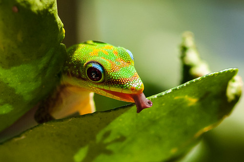 Gold-dust Day Gecko licking water from Kaffir Lime leaf - Phelsuma laticauda on Citrus hystrix