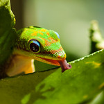 Gold-dust Day Gecko licking water from Kaffir Lime leaf - Phelsuma laticauda on Citrus hystrix thumbnail