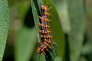 Acraea issoria - the Yellow Coster (larva)