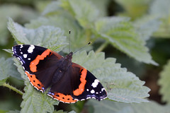 Red Admiral Lakenheath RSPB (JohnMannPhoto) Tags: red admiral lakenheath rspb butterfly
