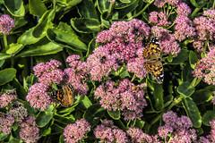butterflies and bees (dan mackey) Tags: superior wisconsin superiorwisconsin garden flower sedum butterfly butterflies bees