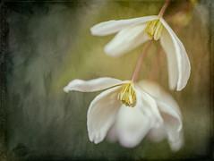 Clematis Duo (michellelynn) Tags: clematis flower spring texture garden