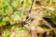 Helikopterua - Libelula - Dragon-Fly (Hanzo STD) Tags: a550 dslr euskadi sonyalphaa550 macros macro animales animals
