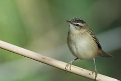 Sedge Warbler (J J McHale) Tags: sedgewarbler acrocephalusschoenobaenus warbler scotland nature wildlife