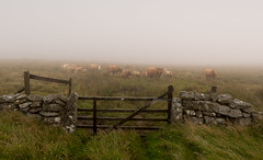 Hey, you guys ... (Go placidly amidst the noise and haste...) Tags: mist moor dartmoor cattle cows herd agriculture agricultural farm farming gate wall stones stone drystone