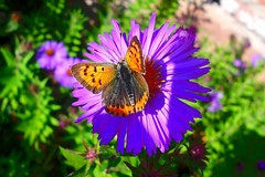 mon troisième et certainement le dernier Papillon en 2017 ! (jeanpierrefrey) Tags: obersteinbach alsacedunord fleurs papillon lebronzé lycaenaphlaeas