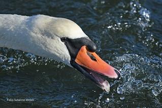 Mute Swan - Höckerschwan