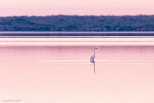 Great White Egret, saltwater lake, South Africa