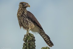 Guardian of the desert (Naturescrack) Tags: huila colombia bird pájaro falcon halcon desert desierto animal nikon nikkor sky cactus thorn espina wildlife nature naturaleza