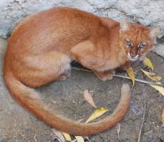 Gato Vermelho (Puma yagouaroundi)