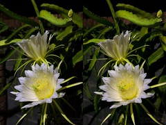 Night Blooming Cereus Cactus - Stereo Cross View (jciv) Tags: cactus cactusflower flower file:name=dsc02558 file:name=06133 3d crossview pair stereo night
