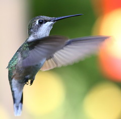 Ruby-throated Hummingbird (emmaellathomas) Tags: hummingbird