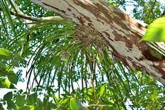 Cymbidium dayanum 鳳蘭