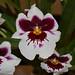 Miltoniopsis – Judy Dyer