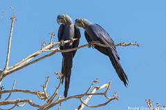 Anodorhynchus hyacinthinus/Hyacinth Macaw