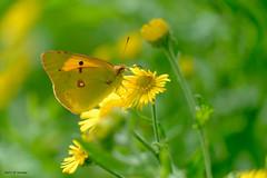 Soufré (jpto_55) Tags: souci papillon bokeh proxi xe1 fuji fujifilm fujixf55200mmf3548rlmois hautegaronne france jaune