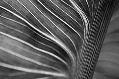 Calla Lily stem close up (Jim Corwin's PhotoStream) Tags: beauty beautyinnature callalily closeup closeupview elegance floralpattern flower flowerhead fragility grace harmony horizontal leaf lilies lily nobody patterns peaceful petal petals photography plant singleflower stem symbol veins weakness