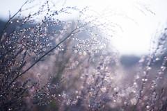 The Meadow awakes (ursulamller900) Tags: trioplan2950 meadow wiese heide heather morningdew tau tautropfen bokeh