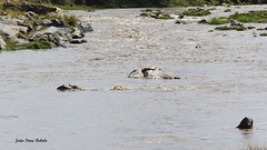 Migracao GNU - Travessia do Rio Mara 27 (Joao Pena Rebelo) Tags: tanzania gnus wildebeest migration safari serengeti wildebeests marariver