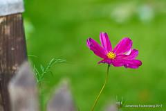 Herbstschönheit (grafenhans) Tags: sony alpha 68 a68 ilca tamron 5663200400 blüte blume garten licht light pflanze grafenwald bottrop nrw natur