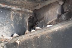 Hiding snake | Varenna evening-10 (Paul Dykes) Tags: varenna lombardy lombardia italy italia lakecomo lagodicomo eveninglight evening snake viper regurgitation it