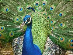 Pavão-comum ((Pavo cristatus)) (Marina CRibeiro) Tags: portugal lisboa pavão peacock ave bird