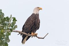 Posing female Bald Eagle