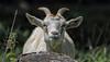 Monday ? (AnyMotion) Tags: goat hausziege capraaegagrushircus animal animals tiere portrait porträt mondayface 2017 anymotion vespatrip wasserkuppe rhön hesse hessen germany travel reisen nature natur 7d2 canoneos7dmarkii