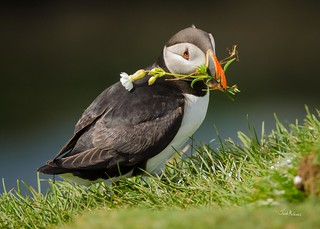 Atlantic Puffin (Fratercula arctica) with a flower