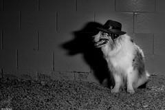 36/52 The Spymaster (Jasper's Human) Tags: 52weeksfordogs 52wfd aussie australianshepherd spymaster spy intrigue adventure shadows