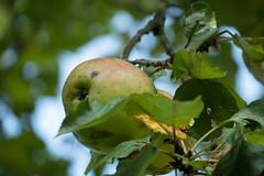 Äpfel am Baum (p.schmal) Tags: panasonicgx80 hamburg farmsenberne bernerau