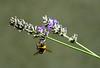 Bourdon et lavande (nicéphor) Tags: nature insecte bourdons canon eos50d
