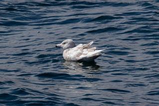 Immature Glaucous Gull at Holmavik S24A0990