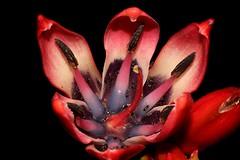 Doryanthes palmeri (andreas lambrianides) Tags: doryanthespalmeri doryanthaceae spearlily australianflora australiannativeplants nsw qld redflowers australiannativeflowers wildflowers threatenedspecies vulnerablespecies