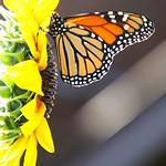 DSC09065  - Garden Monarch thumbnail