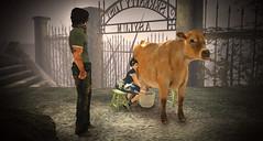 Vache à lait (SpotyPoint) Tags: vache traite insolite cow milk lait