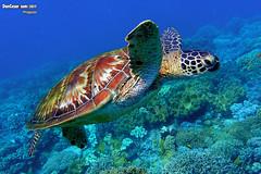 P9060084 copy . Green sea turtle, Chelonia mydas, Apo Island, Philippines (danniepolley) Tags: greenseaturtle cheloniamydas apoisland philippines nature animal