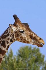 giraffe (@Katerina Log) Tags: giraffe portrait animal wild wildlife wildanimal outdoor nature natura katerinalog sonyilce6500 depthoffield bokeh epz18105mmf4goss han than