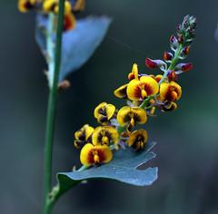 Pea Flowers 3.2 (AlfredSin) Tags: alfredsin canoneos760d canonef100mmf28lmacro yellowflower peaflowers valleyreserve mountwaverley australianflowers australianplants