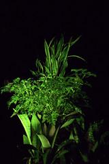 _MG_1892.CR2 (jalexartis) Tags: sansevieriatrifasciata motherinlaw'stongue citronella afterdark dark nightphotography night nightshots camranger lighting gardening cedarfarms