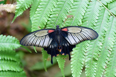 Great Mormon Butterfy (bevanwalker) Tags: butterfly beautiful dark canopy black white bevan walker newzealand nikon d750 outdoor animal insects fauna great mormon swallowtail
