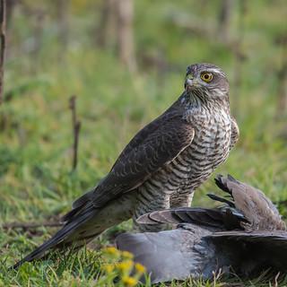 Female Sparrowhawk Wiveton Norfolk 09-09-2017-5052