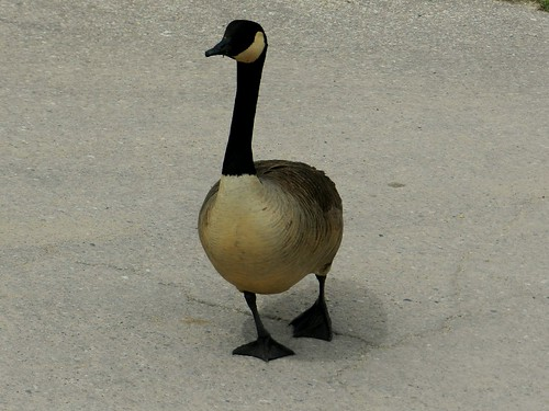 Canada Goose In Baltimore