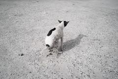 * (Sakulchai Sikitikul) Tags: street snap streetphotography summicron songkhla sony a7s 35mm leica thailand hatyai dog poo