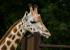 Giraffe, that could not stop licking that gate (Mark Curnow Photography) Tags: fauna longneck lick fence stare outdoors outdoorphotography canon eod 7d longleatsafaripark longleat zoo captive summer season tourism attraction wiltshire
